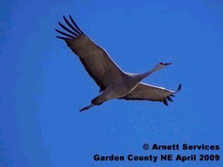 Sandhills crane in flight